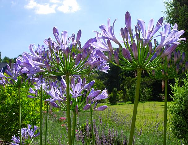 Bouquet d'agapantes devant l'orangerie du château d'Acquigny - Normandie (H.d'Esneval)